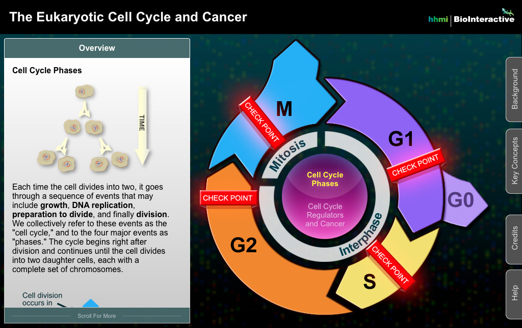 Cell Cycle Screenshot 1
